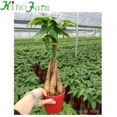 Indoor Plant Money Tree Pachira