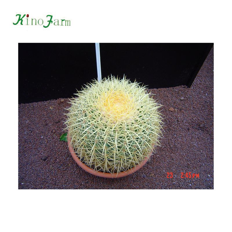 baril d'or cactus exportation vers l'europe